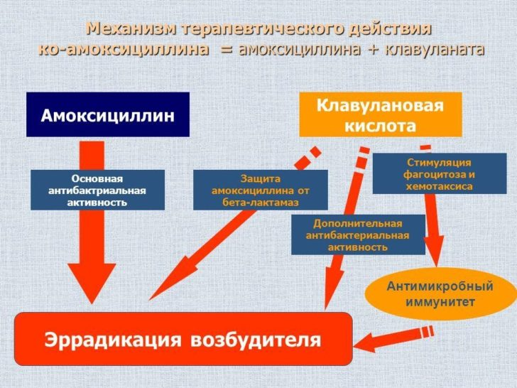 Действие Амоксиклава (амоксициллин+клавулановая кислота)