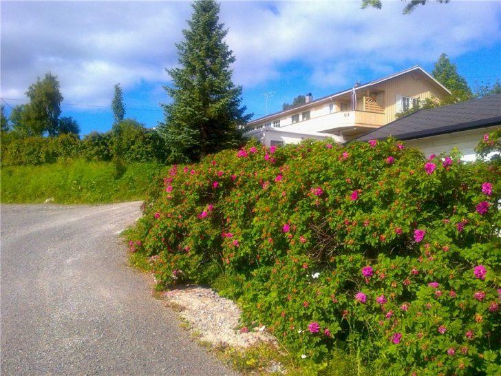 Цветущие кусты шиповника у дороги