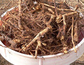 Пиала с корнями шиповника
