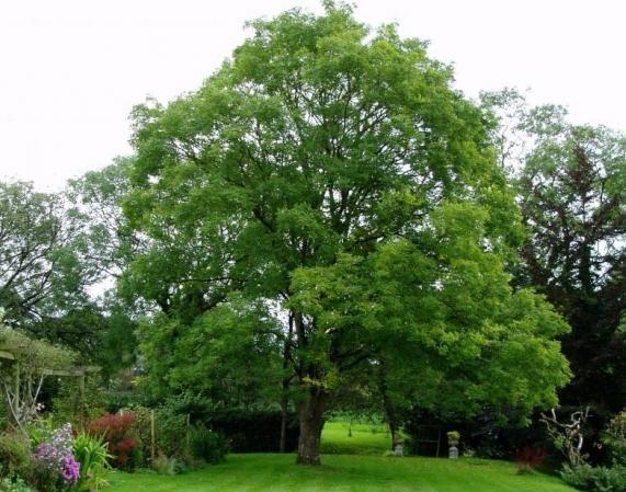 Взрослое дерево софоры