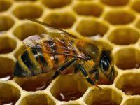 Бакфастская пчела