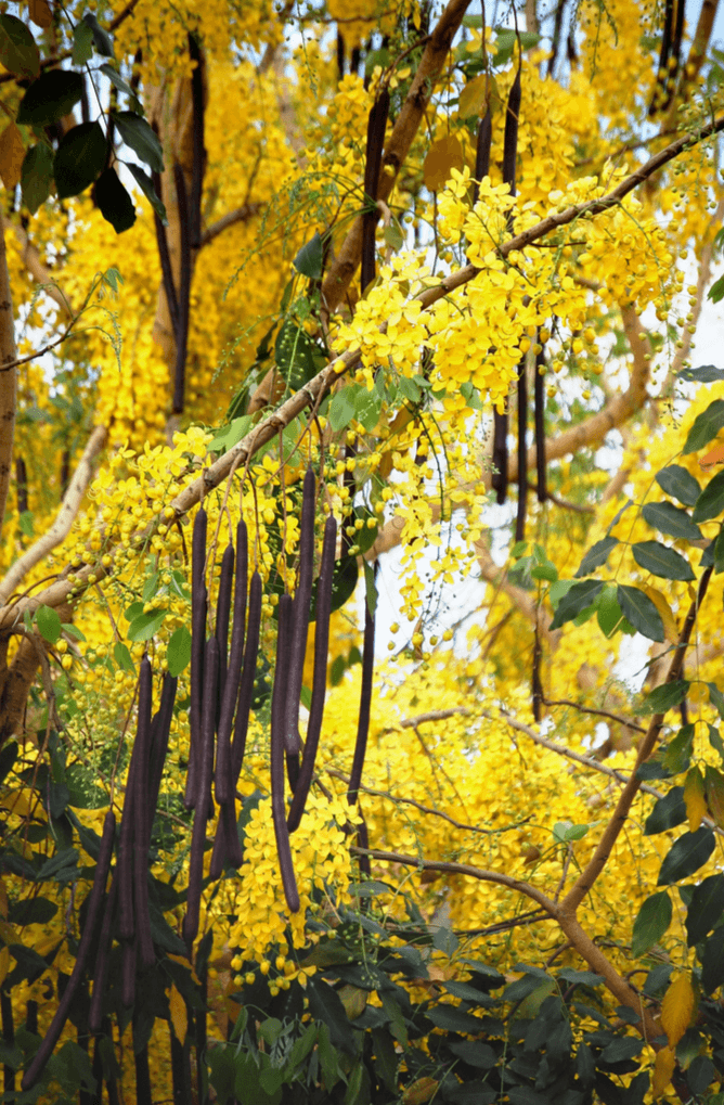 Цветущая сенна