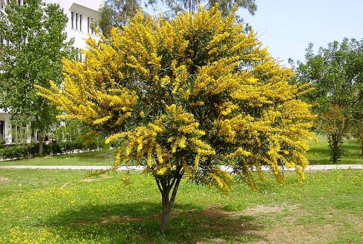 Дерево сенны