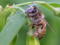 Карликовая пчела