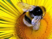 Лесная пчела