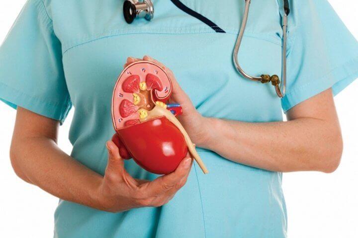 Доктор держит в руках макет почки