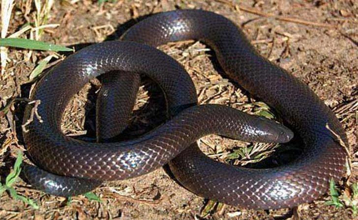 Шпильковая змея