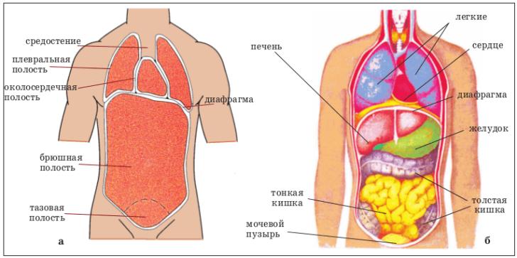 Грудная и брюшная полость (схема)