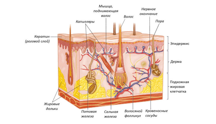 Строение кожи человека (схема)