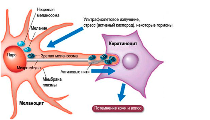 Механизм потемнения кожи: схема