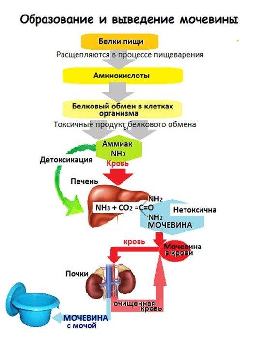 Обмен мочевины в организме (схема)