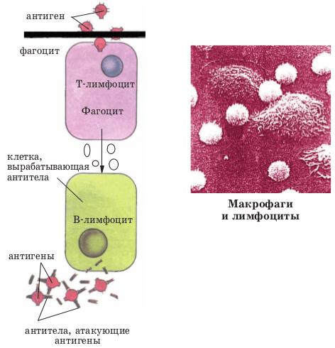 Образование антител (схема)