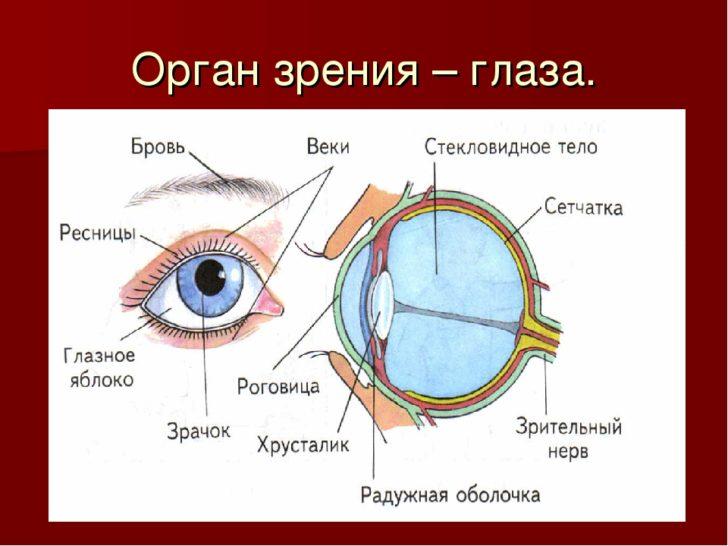 Орган зрения (схема)