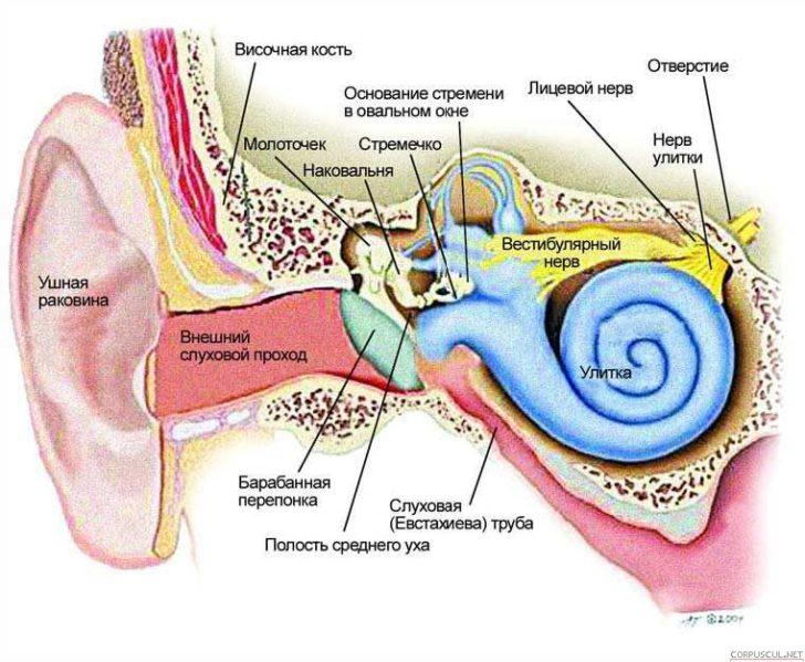 Строение органа слуха (схема)