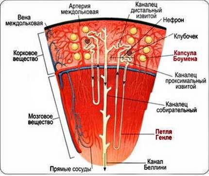Строение почечных канальцев