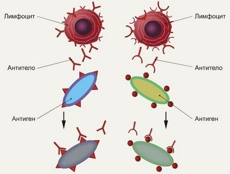 Комплекс антиген-антитело