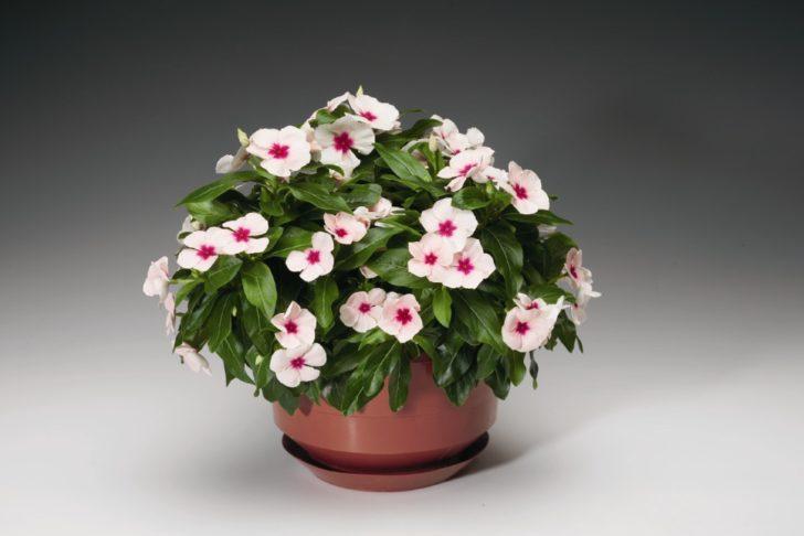 Катарантус с белыми цветками