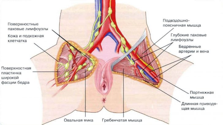 Расположение паховых лимфоузлов