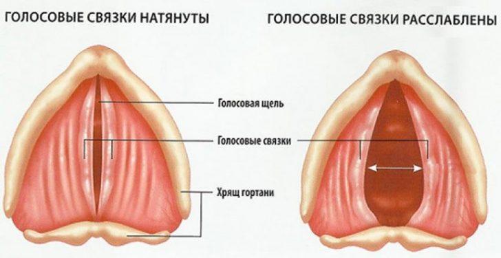 Голосовые складки (схема)