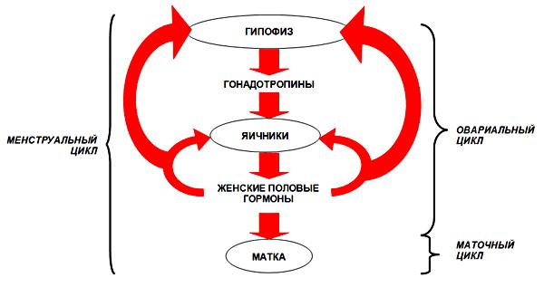 Гормональная регуляция менструального цикла (схема)