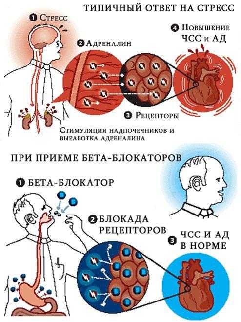 Механизм действия бета-блокаторов (схема)