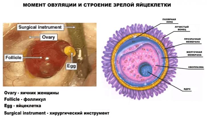 Момент овуляции и строение яйцеклетки на схеме
