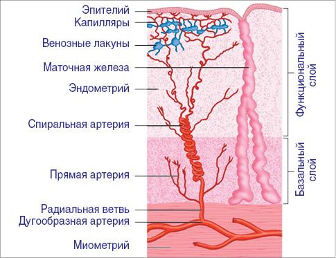 Строение эндометрия (схема)