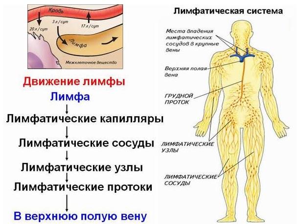 Строение лимфатической системы человека