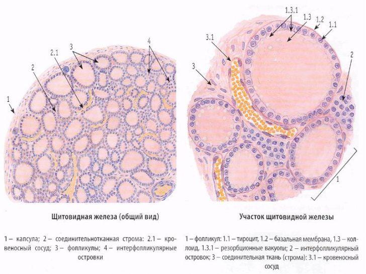 Строение щитовидной железы под микроскопом (схема)