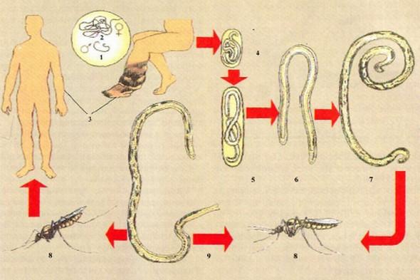 Жизненный цикл филярий