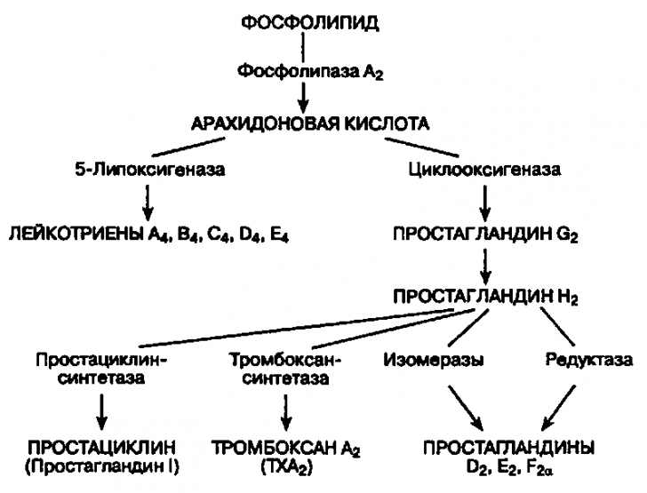 Цикл арахидоновой кислоты (схема)