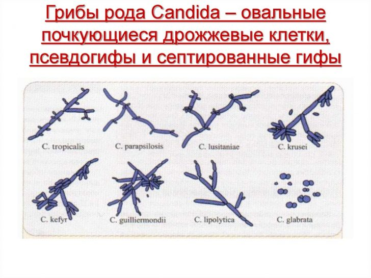 Дрожжевые грибки рода Candida