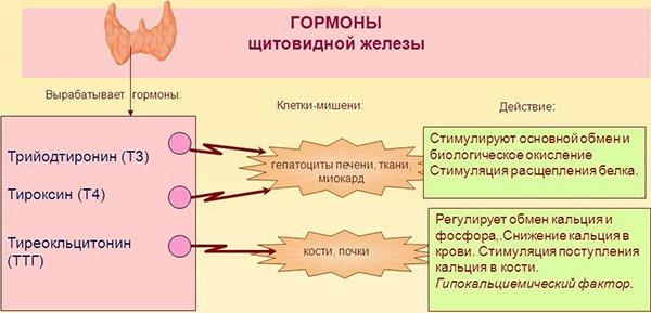 Эффекты гормонов щитовидной железы