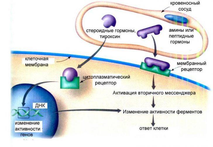 Механизм действия стероидных гормонов (схема)