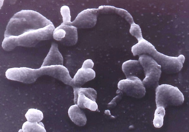 Micoplasma genitalium