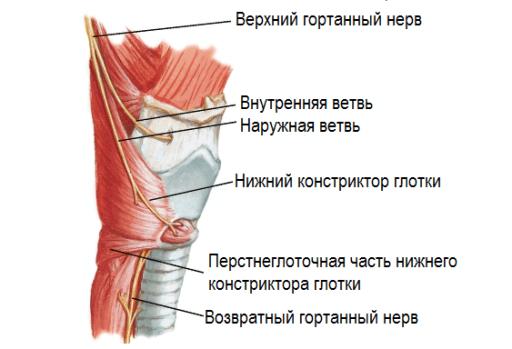 Нервы гортани (схема)