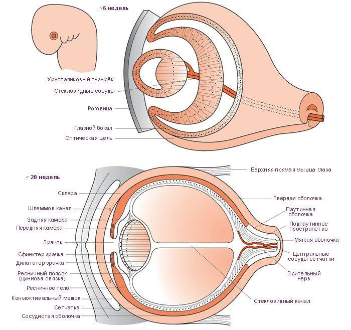 Развитие органа зрения (схема)