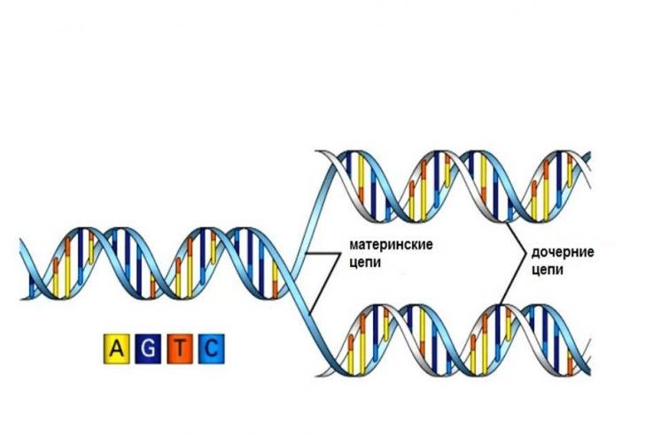 Синтез ДНК (схема)