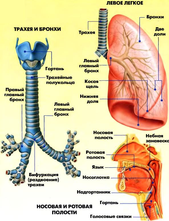 Строение дыхательной системы (схема)