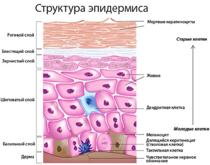 Строение эпидермиса (схема)