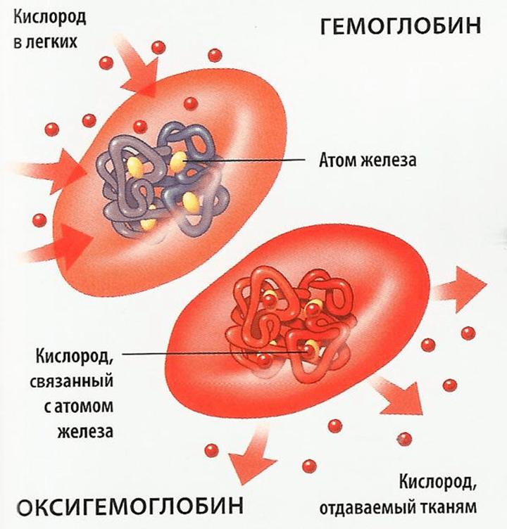 Строение эритроцита (схема)