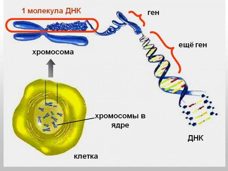 Строение хромосомы и гена (схема)