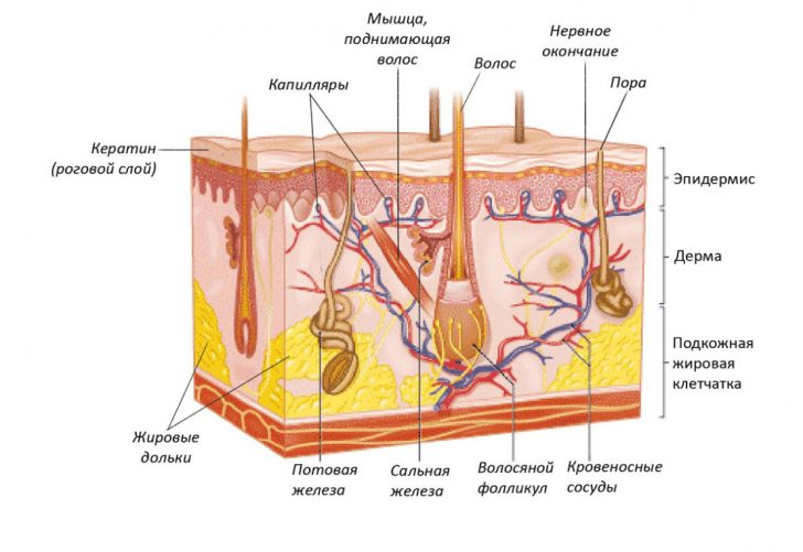 Строение кожи (схема)
