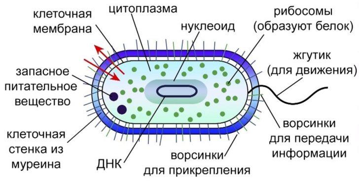 Строение микоплазмы (схема)