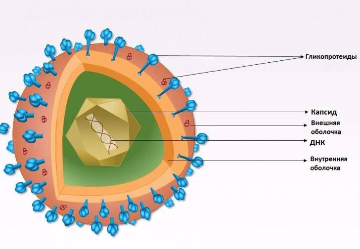 Строение вируса герпеса (схема)