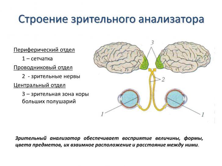 Строение зрительного анализатора (схема)