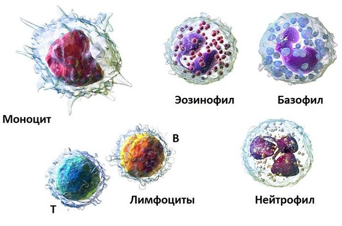 Виды лейкоцитов (схема)