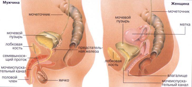 Строение женской и мужской мочеполовой системы
