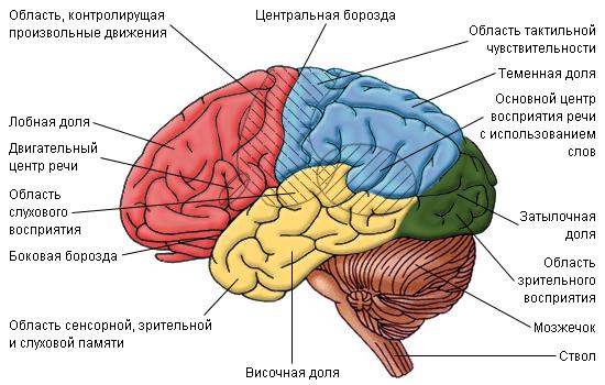Области мозга, отвечающие за различные функции