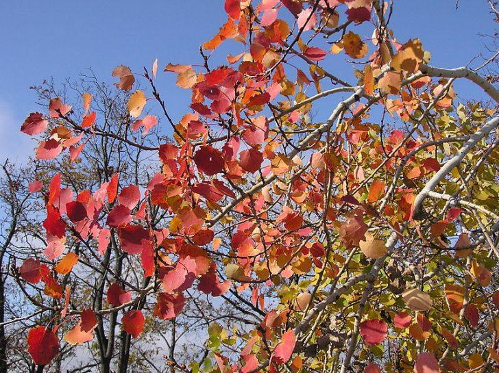 Осенняя осина